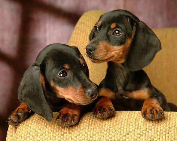 Dachshund Colors & Patterns - Dachshund org